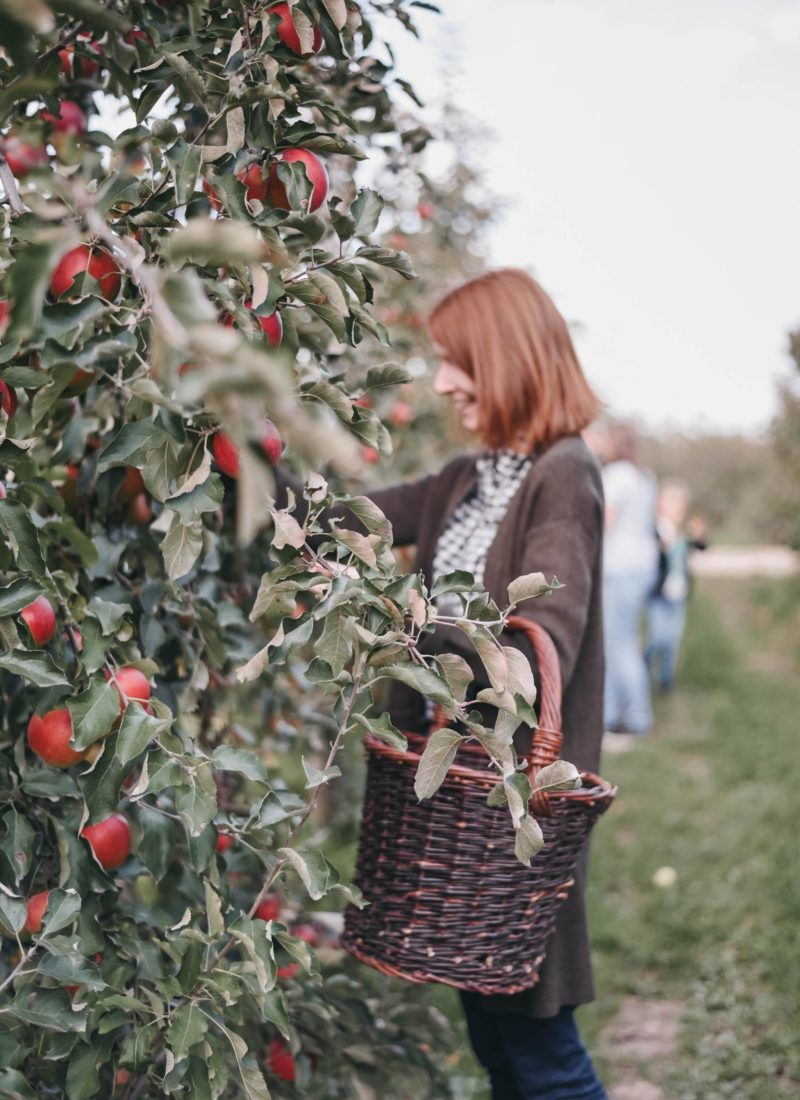 Apple Picking in Haspengouw