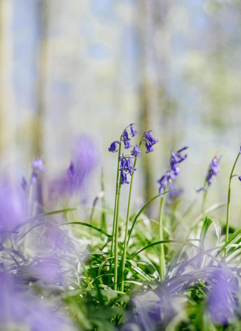 The Wild Bluebells of Belgium's Blue Forest