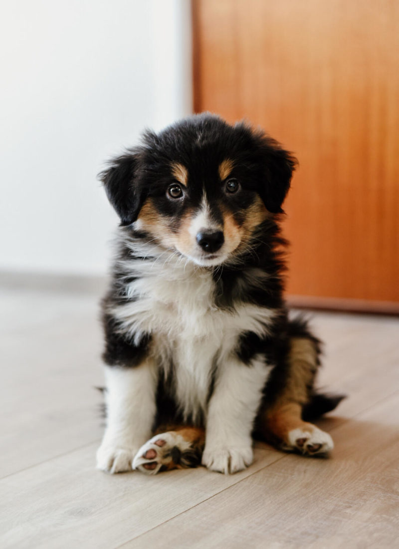 8 weeks old Black Tri Mini Australian Shepherd Puppy